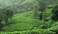 Tea field - many are the hills covered by tea fields