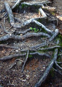 Roots on the Blanca Lake trail